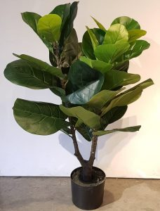 Planta Ficus Pandurata Gr