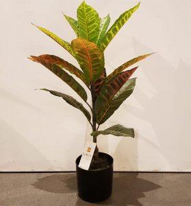 Planta Croton Plant Me