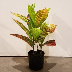 Planta Croton Plant Ch