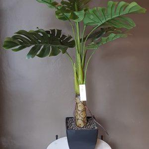 Planta Philodendro